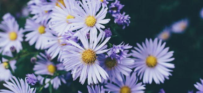 Purple daisies, speaking up | See more at www.diywoman.net