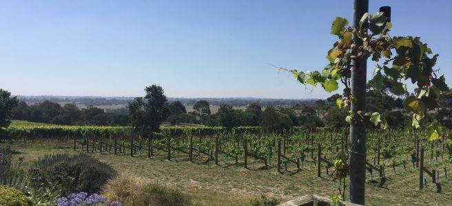 Overlooking rows of grapevines towards tall trees and blue skies