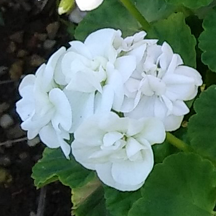 White geranium with green leaves